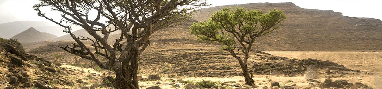 Weihrauchbaum in der Steppe